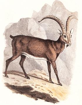 Animales Extintos 1817-Bucardo_Cuvier_KW